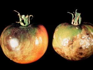 Photo of tomatoes with Late Blight