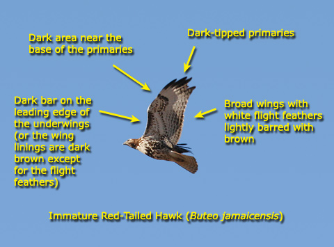 How to identify a red-tailed hawk